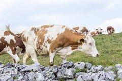Parete di pietra che circonda un pascolo alpino e che pasce le mucche Immagine Stock Libera da Diritti