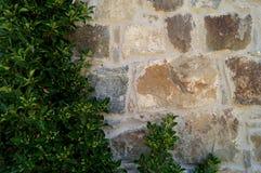 Parete di pietra con pianta Struttura della natura Fondo per testo, insegna, etichetta Immagine Stock