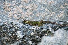 Parete di pietra della lucertola pigra dell'iguana Fotografia Stock Libera da Diritti