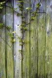 Parete ed edera di legno Fotografie Stock