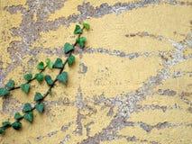 Parete esposta all'aria con l'edera Fotografie Stock