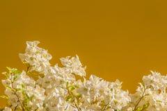Parete gialla decorata con il fiore del Libro Bianco su priorità alta Fotografie Stock
