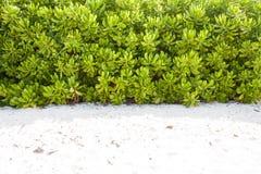 Parete naturale della pianta sulla spiaggia Fotografia Stock