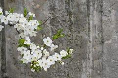 parete strutturata del grunge concreto della ciliegia del fiore Fotografia Stock Libera da Diritti
