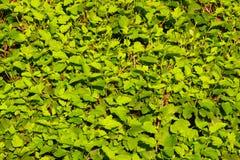 Parete verde Fotografie Stock