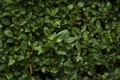 Parete verde del fogliame dell'alloro Fotografia Stock Libera da Diritti
