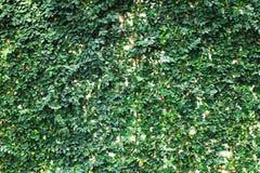 Parete verde del foglio Fotografia Stock Libera da Diritti