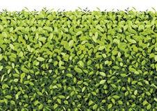Parete verde dell'albero sul vettore isolato Immagini Stock