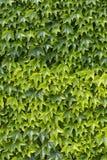 Parete verde dell'edera Fotografia Stock