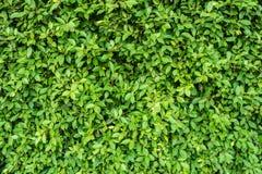 Parete verde della foglia per il fondo di struttura della natura Fotografie Stock