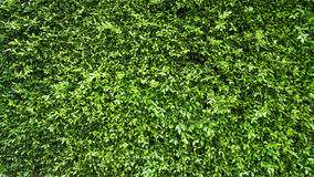 Parete verde della pianta della foglia fotografia stock libera da diritti