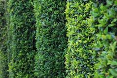 Parete verde della siepe dell'ars topiaria con lo spazio della copia fotografia stock
