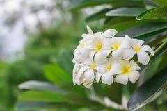 Parfum doux de la fleur blanche de Plumeria Photographie stock
