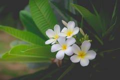 Parfum doux de la fleur blanche de Plumeria Photos stock