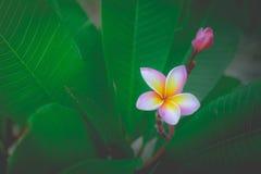Parfum doux de la fleur blanche de Plumeria Photo stock