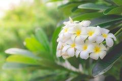 Parfum doux de la fleur blanche de Plumeria Images stock