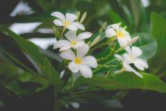 Parfum doux de la fleur blanche de Plumeria Photographie stock libre de droits