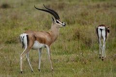 Parfum mâle de test de la gazelle de Grant de femelle Photos stock