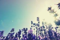 Parfymerat lavendelblommafält under blå himmel arkivfoto