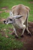 Pari del canguro Immagine Stock