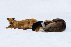 Pariah dogs on the snow. Four stray dogs lay on the snow in cold winter weather. Animals protectiion issue Stock Images
