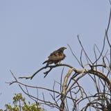 Pariah kite. Pariah or Black kite (Milvus migrans) on a tree in Ahmedabad, Gujarat Royalty Free Stock Photos