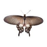 Parides查出的adamsoni蝴蝶 库存图片