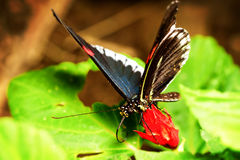 Parides Arcas Butterfly Close Up Royalty Free Stock Photos