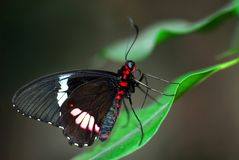Free Parides Butterfly On Leaf Royalty Free Stock Photography - 5190207