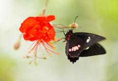 Parides sp. common mormon butterfly on red blossom. Stock Photos