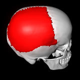 Parietal Bone Stock Photo