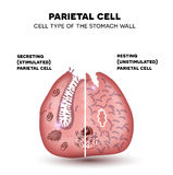 Parietal cell of stomach wall, functions Royalty Free Stock Images