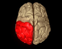 Parietal Lobe Stock Photography