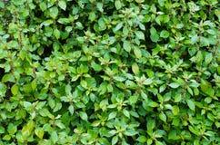 Parietaria. Detail of a parietaria plant Royalty Free Stock Images