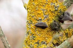 Parietina Xanthoria λειχήνων σε έναν κλάδο δέντρων στον κήπο Στοκ Εικόνες