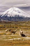Parinacota Volcano in Chile Royalty Free Stock Photography