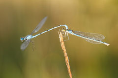 Paring damselfly Stock Photography