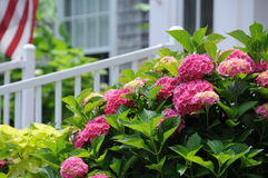 Pariotic Pink Hydrangea royalty free stock images