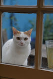 Paris Cat looks through window at photographer, France - shot August, 2015 Royalty Free Stock Images