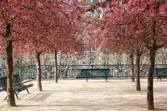 Paris City Park with Pink Blossoming Trees Royalty Free Stock Photo