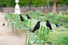 Paris Crows in the Tuileries Stock Images