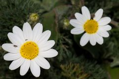 Paris daisies Argyranthemum frutescens. Arrecife. Lanzarote. Canary Islands. Spain stock photo
