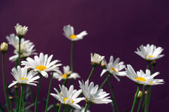 Paris daisy or daisy Marguerite Royalty Free Stock Photo