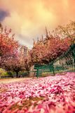 Paris, Notre Dame cathedral with blossomed tree in France Royalty Free Stock Photo