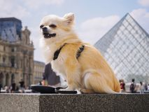 Blond Long hair chihuahua dog sitting in the background Louvre pyramid in Paris stock photos