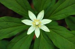 Paris Japonica Flower Stock Photo
