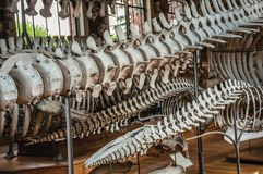 Backbone skeleton of marine mammals in the Gallery of Paleontology and Comparative Anatomy at Paris. Paris, northern France - July 10, 2017. Backbone skeleton royalty free stock photography