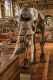 Close-up of elephant skull at hall in Gallery of Paleontology and Comparative Anatomy at Paris. Paris, northern France - July 10, 2017. Close-up of elephant stock image