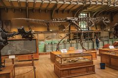 Fossil of carnivorous dinosaur at Gallery of Paleontology and Comparative Anatomy in Paris. Paris, northern France - July 10, 2017. Fossil of carnivorous stock photos