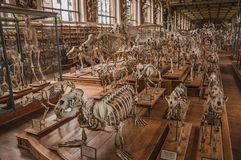 Skeletons of animals in the huge hall in Gallery of Paleontology and Comparative Anatomy at Paris. Paris, northern France - July 10, 2017. Skeletons of animals royalty free stock photo